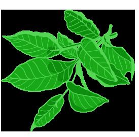 estratto di the verde
